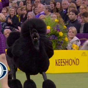 'Siba' the standard poodle wins the Non-Sporting title at 2020 Westminster Dog Show   FOX SPORTS