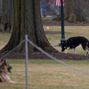 Ruff stuff: Biden's dog bites White House staffer
